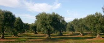 Vista general de campo de olivos