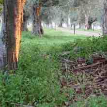 Las achicorias rodeando los olivos: una exquisitez !